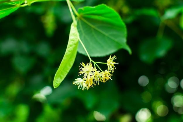 Bloemen van een lindeboom tussen groene bladeren op een heldere lentedag.