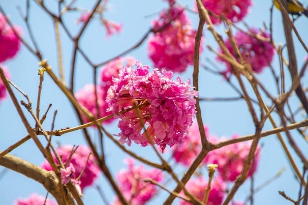 Bloemen van een paarse ipe, met een mooie blauwe lucht