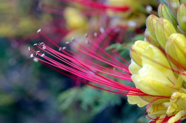 Bloemen van erythrostemon gilliesii (of caesalpinia gilliesii), een siersoort afkomstig uit zuid-amerika
