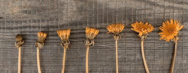 Bloemen van gele paardebloemen liggen in een rij