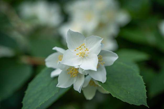 Bloemen van geurige jasmijn. concept: aroma, schoonheid, tederheid, zuiverheid