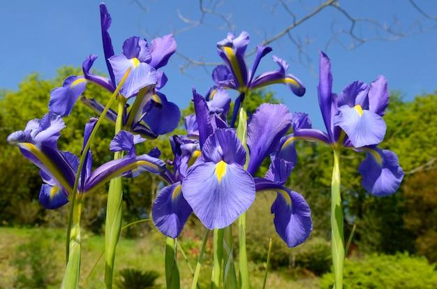 Bloemen van iris gekweekt vanwege zijn schoonheid