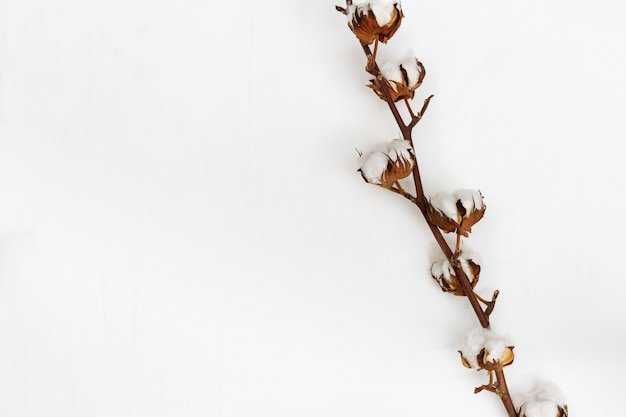 Bloemen van katoen op tak op witte achtergrond met lege ruimte voor tekst