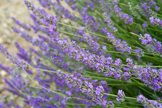 Bloemen van lavendel