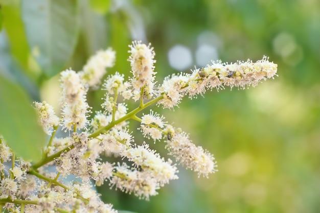 Bloemen van longan. longan tropisch fruit.
