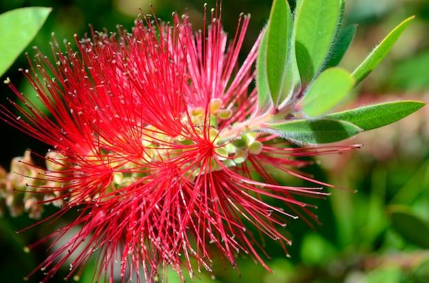 Bloemen van melaleuca citrina (of callistemon citrinus), sierheester afkomstig uit australië