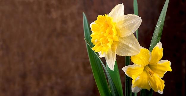 Bloemen van narcissen op een zwarte achtergrond.