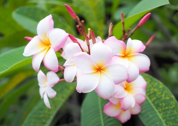 Bloemen van plumeria of frangipani. pink spa flower.
