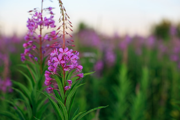 Bloemen van willow-kruid op vage aard.