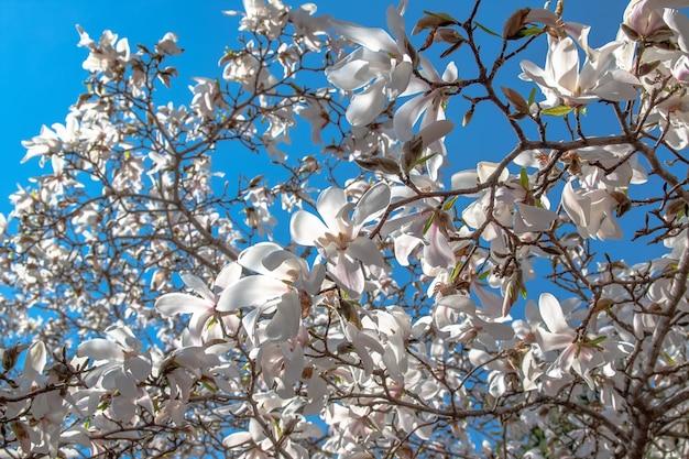 Bloemen van witte magnolia tegen de blauwe lucht. lente bloeien en bloeien.