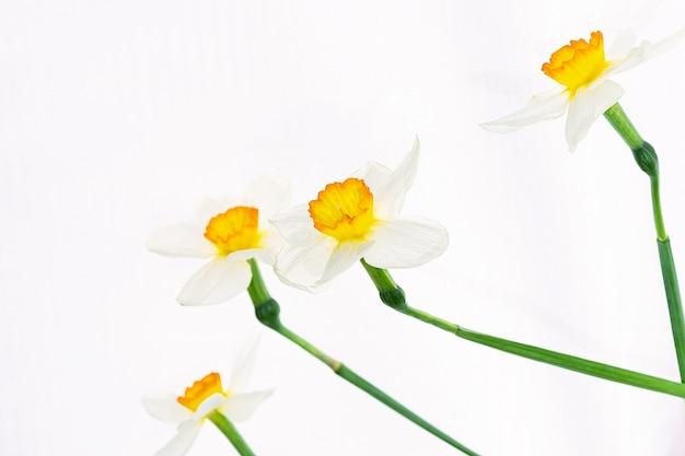 Bloemen van witte narcissen zijn willekeurig gerangschikt