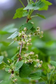 Bloemen van zwarte bes op tak met bokeh achtergrond macro jonge bessen bessen op takken van b...