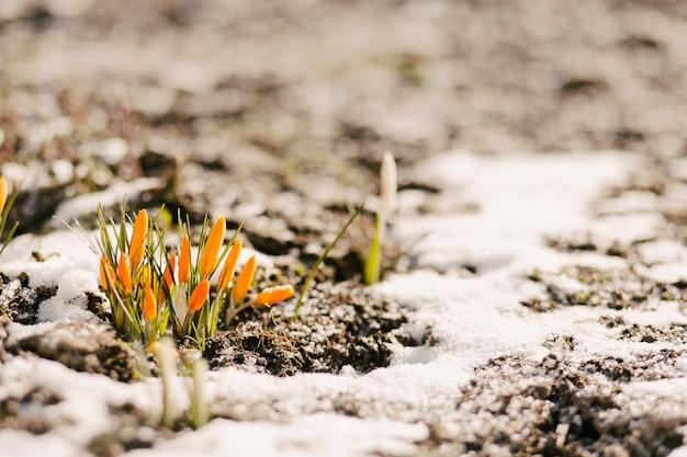 Bloemen worden uit de sneeuw geslagen