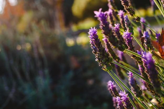 Bloemenachtergrond met levendige lilac lavendel met exemplaarruimte voor tekst in het natuurlijke plaatsen.