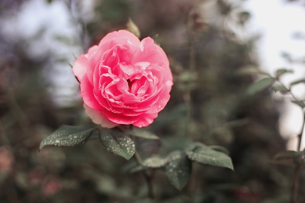 Bloemenachtergrond, roze bloem in de tuin