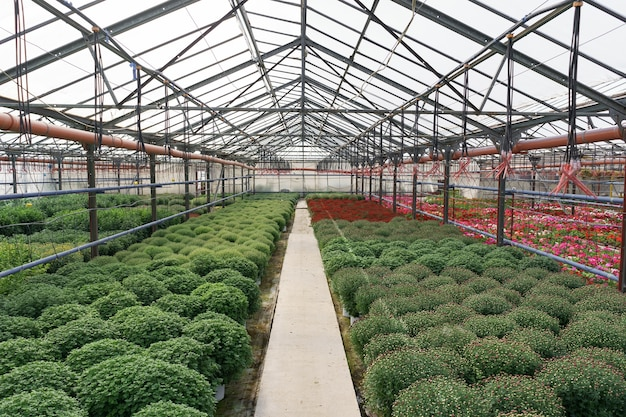 Bloemenproductie en -teelt. veel chrysantenbloemen in de kas. chrysanthemum plantage