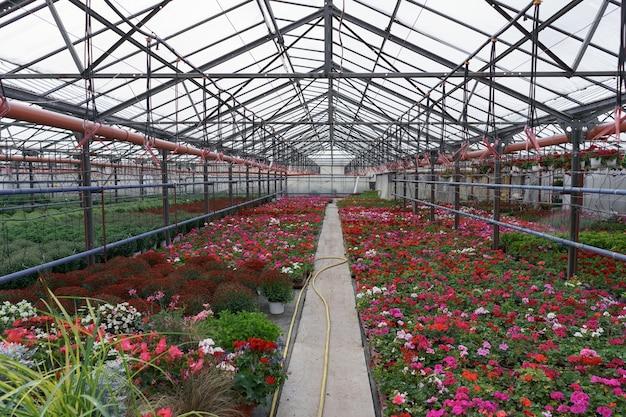 Bloemenproductie en -teelt. veel geraniums en chrysanten bloeien in de kas.