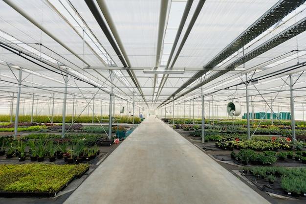 Bloementeelt in een kas. productie bloemen. planten bijsnijden in kas.