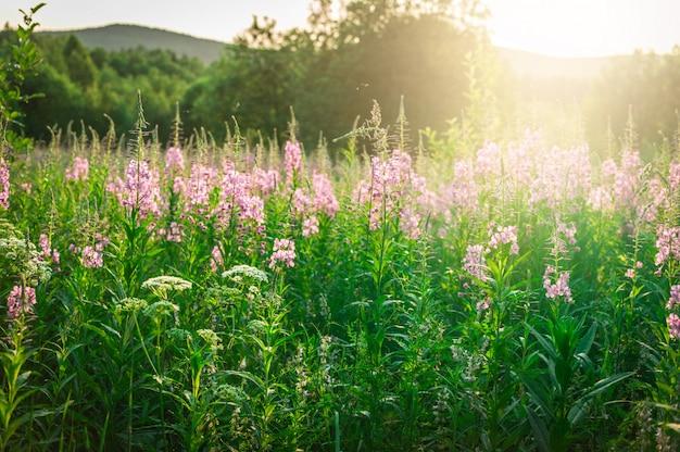 Bloemenweide. bloeiende sally. zonsondergang.