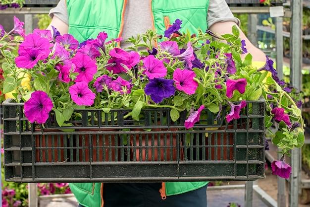 Bloemist houdt doos vol met petunia-bloemen. tuinman draagt bloemen in krat bij winkel. voorbereiding op het zomerseizoen.
