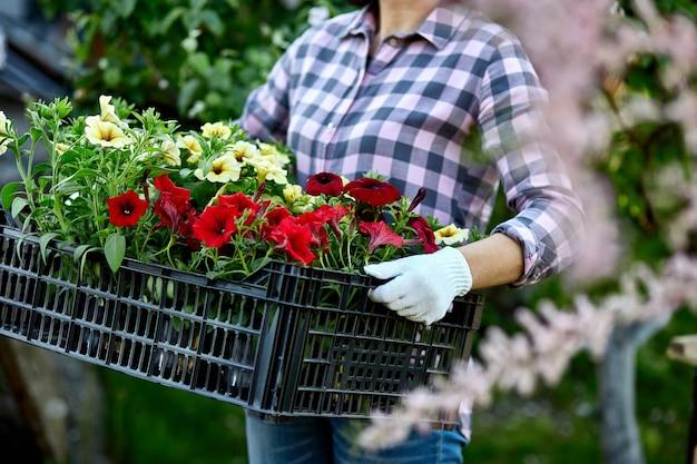 Bloemist houdt doos vol met petunia bloemen. tuinman draagt bloemen in krat bij winkel. vrouw die voor bloemen in de dragende mand van het tuincentrum winkelt. tuinman is klaar om in de lente te planten.