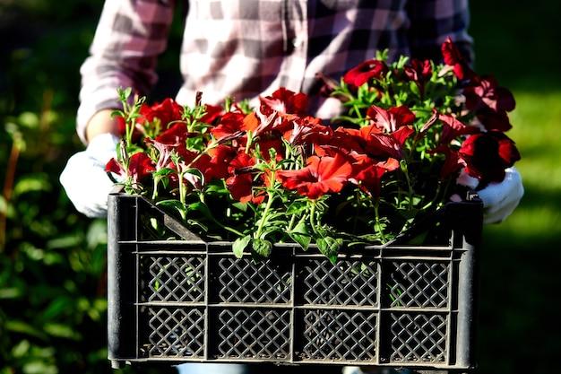 Bloemist houdt doos vol met petunia bloemen. tuinman draagt bloemen in krat bij winkel
