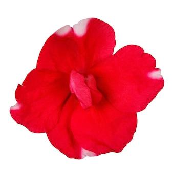 Bloemknop bloeit geïsoleerd op een witte ondergrond.