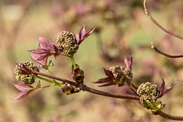 Bloemknoppen en bladeren van rode vlier, sambucus racemosa,