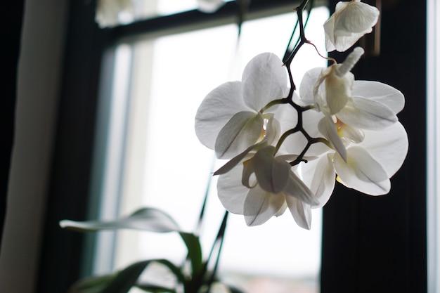 Bloempot in de buurt van een groot raam. witte orchidee op de vensterbank. zwarte gordijnen - ochtend