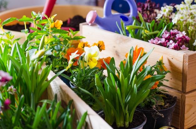 Bloempotten voor kleine tuin, terras of terras. zaailingen van de lente mooie bloemen in een houten doos.