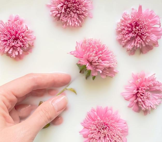 Bloemsamenstelling schoonheid en verzorgingsconcept een dameshand in melk en omringd door roze aster