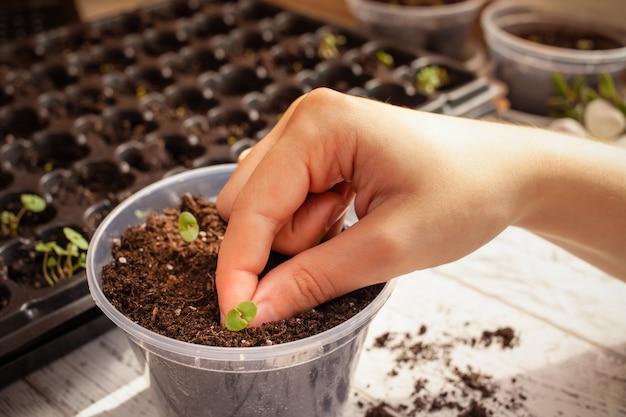 Bloemtransplantatiecellen voor het kweken van zaden