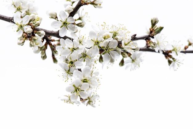 Bloesem. boomtak met kersenbloesem op witte achtergrond wordt geïsoleerd die.