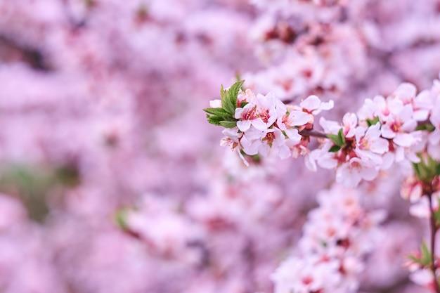 Bloesem roze boom over aardachtergrond