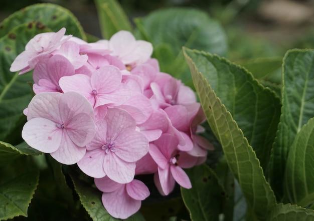 Bloesem roze hortensia bloemen met groene bladeren