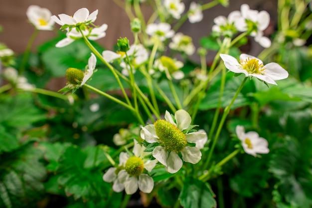 Bloesem van tuinaardbeien met groene bladeren en kleine witte bloemblaadjes die groeien in grote hedendaagse verticale boerderij of broeikas
