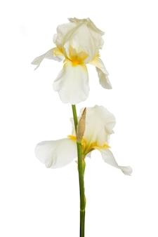 Bloesem van witte iris geïsoleerd op een witte achtergrond