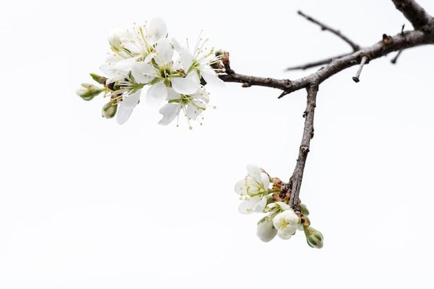Bloesem. wilde die boomtak met kersenbloesem op witte achtergrond wordt geïsoleerd.