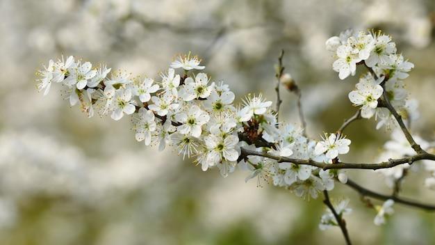 Bloesemboom. aardachtergrond in zonnige dag. lente bloemen. prachtige boomgaard en abstracte wazig
