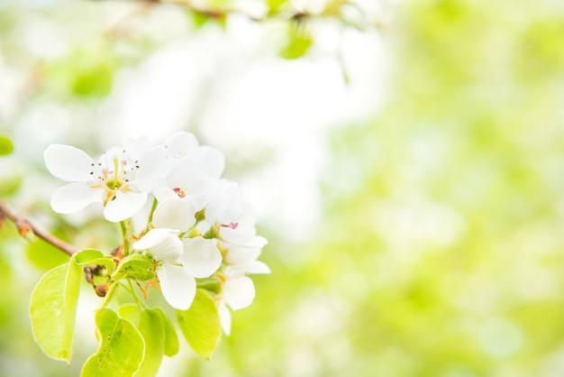 Bloesemperenboom in witte bloemen en groene achtergrond