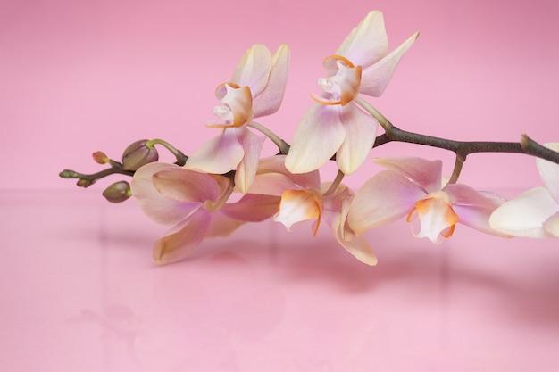Bloesemtak van mooie bloemenorchideeën met bezinning over roze achtergrond.