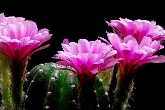 Blooming cactus flowers echinopsis hybride roze kleur