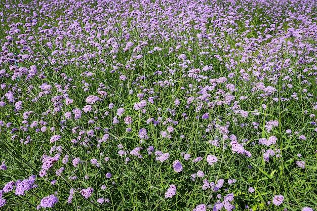 Blooming verbena veld is een paarse bloem, de betekenis van deze bloem is het geluk van iedereen in het gezin. trouwens, verbena is ook een andere betekenis. alstublieft bid voor mij.