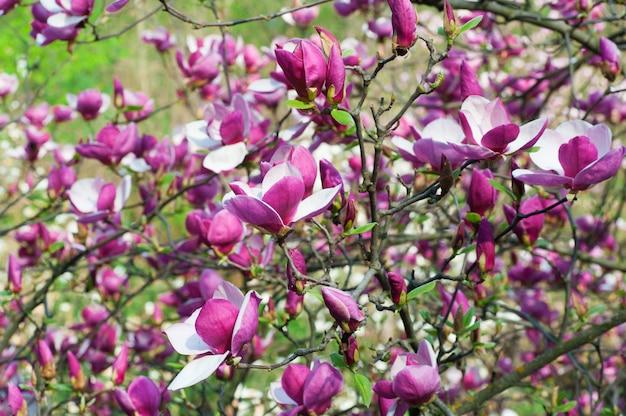 Bloomy magnoliaboom met grote roze bloemen in tuin