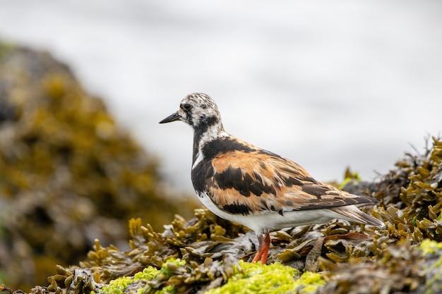 Blozend turnstone-vogel op een rots die door de oceaan met zeewier wordt bedekt