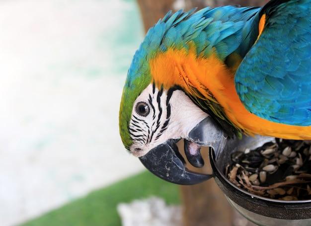 Blue & gold macaw papegaaiengezicht