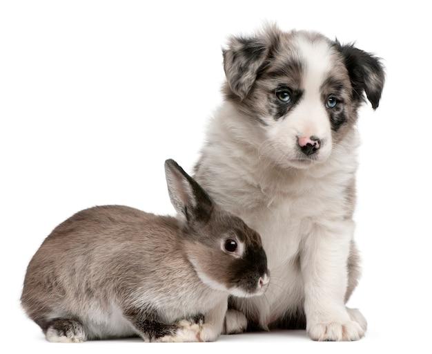 Blue merle border collie-puppy, 6 weken oud, en een konijn