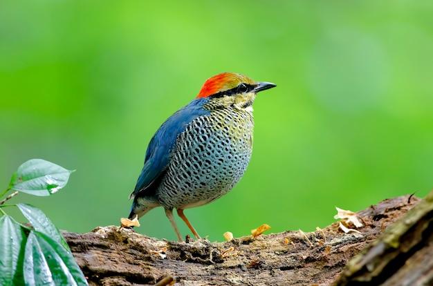 Blue pitta hydrornis cyaneus mooie mannelijke vogels van thailand