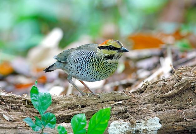 Blue pitta hydrornis cyaneus mooie vrouwelijke vogels van thailand