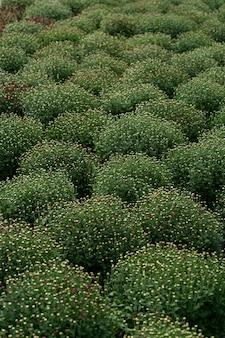 Bluming groene verse chrysant abstracte textuur